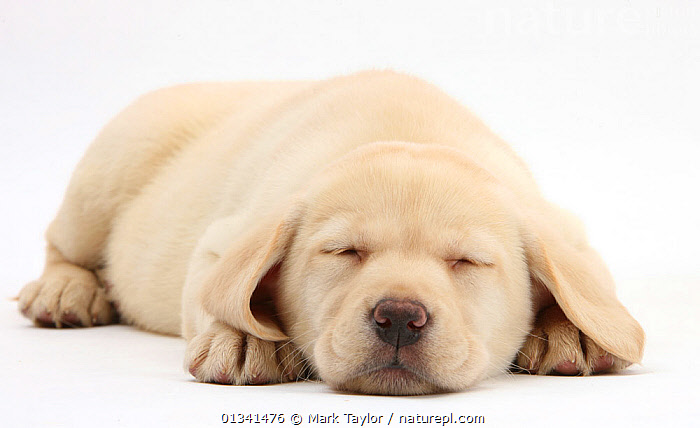Sleeping Yellow Labrador Retriever pup, 8 weeks., BABIES,CANIDS,CUTE,CUTOUT,DOGS,GUNDOGS,LARGE DOGS,LYING,PETS,PORTRAITS,PUPPIES,PUPPY,SLEEPING,STUDIO,VERTEBRATES,WHITE,YOUNG,,cutout,white background,, Mark Taylor