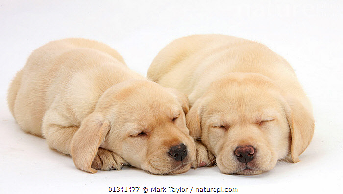 Sleeping Yellow Labrador Retriever puppies, 8 weeks., AFFECTIONATE,BABIES,CANIDS,CUTE,CUTOUT,DOGS,FRIENDS,GUNDOGS,LARGE DOGS,LYING,PETS,PORTRAITS,PUPPIES,PUPPY,SIBLINGS,SLEEPING,STUDIO,TWO,VERTEBRATES,WHITE,YOUNG,,cutout,white background,, Mark Taylor