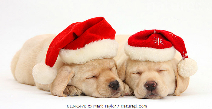 Sleeping Yellow Labrador Retriever puppies, 8 weeks, wearing Father Christmas hats., BABIES,CANIDS,CELEBRATIONS,CHRISTMAS,CUTE,CUTOUT,DOGS,FRIENDS,GUNDOGS,LARGE DOGS,LYING,PETS,PORTRAITS,PUPPIES,PUPPY,SIBLINGS,SLEEPING,STUDIO,TWO,VERTEBRATES,WHITE,YOUNG,,cutout,white background,, Mark Taylor