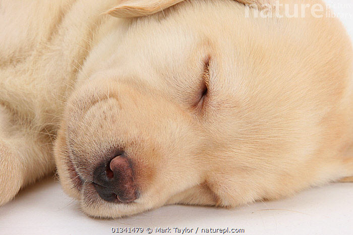 Sleeping Yellow Labrador Retriever puppy, sleeping head closeup, 8 weeks., BABIES,CANIDS,CLOSE UPS,CUTE,CUTOUT,DOGS,FACES,GUNDOGS,HEADS,LARGE DOGS,LYING,PETS,PORTRAITS,PUPPIES,PUPPY,SLEEPING,STUDIO,VERTEBRATES,WHITE,YOUNG,,cutout,white background,, Mark Taylor
