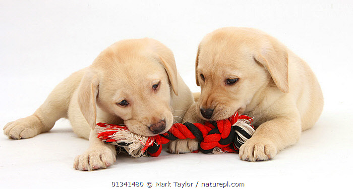 Yellow Labrador Retriever puppies, 9 weeks, chewing a ragger toy., BABIES,CANIDS,CUTE,CUTOUT,DOGS,FRIENDS,GUNDOGS,LARGE DOGS,LYING,PETS,PLAY,PLAYING,PORTRAITS,PUPPIES,PUPPY,SIBLINGS,STUDIO,TWO,VERTEBRATES,WHITE,YOUNG,Communication,,cutout,white background,, Mark Taylor