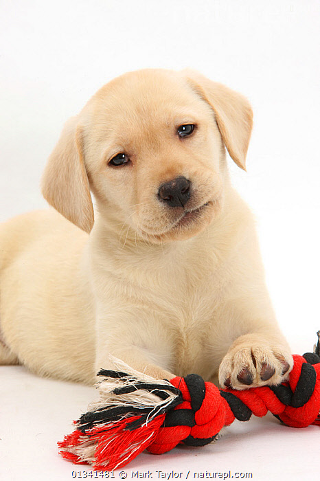 Yellow Labrador Retriever puppy, 9 weeks, with a ragger toy., BABIES,CANIDS,CUTE,CUTOUT,DOGS,GUNDOGS,LARGE DOGS,LOOKING AT CAMERA,PETS,PORTRAITS,PUPPIES,PUPPY,STUDIO,VERTEBRATES,VERTICAL,WHITE,YOUNG,,cutout,white background,, Mark Taylor