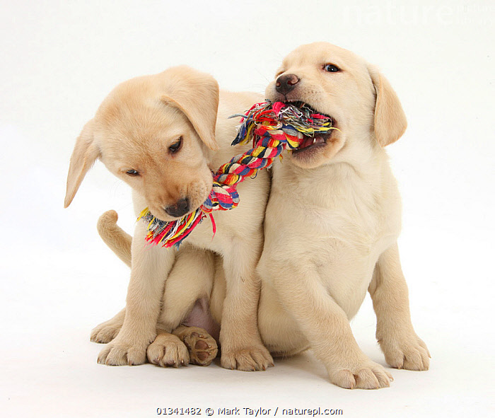 Yellow Labrador Retriever puppies, 9 weeks, playing with a ragger toy., BABIES,CANIDS,CUTE,CUTOUT,DOGS,FRIENDS,GUNDOGS,LARGE DOGS,PETS,PORTRAITS,PUPPIES,PUPPY,SIBLINGS,SITTING,STUDIO,TWO,VERTEBRATES,WHITE,YOUNG,,cutout,white background,, Mark Taylor