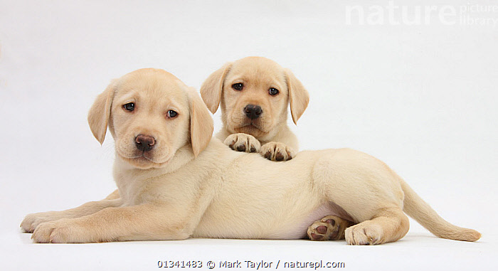 Yellow Labrador Retriever puppies, 8 weeks., BABIES,CANIDS,CUTE,CUTOUT,DOGS,FRIENDS,GUNDOGS,LARGE DOGS,LOOKING AT CAMERA,LYING,PETS,PORTRAITS,PROFILE,PUPPIES,PUPPY,SIBLINGS,STUDIO,TWO,VERTEBRATES,WHITE,YOUNG,,cutout,white background,, Mark Taylor