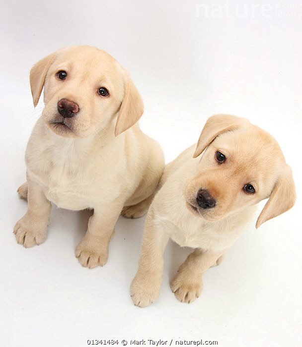 Yellow Labrador Retriever puppies, 8 weeks., BABIES,CANIDS,CUTE,CUTOUT,DOGS,FRIENDS,GUNDOGS,HIGH ANGLE SHOT,LARGE DOGS,LOOKING AT CAMERA,PETS,PORTRAITS,PUPPIES,PUPPY,SIBLINGS,SITTING,STUDIO,TWO,VERTEBRATES,WHITE,YOUNG,,cutout,white background,, Mark Taylor