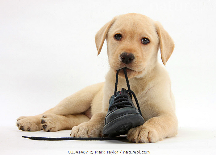 Yellow Labrador Retriever puppy, 8 weeks, chewing a child's shoe., BABIES,CANIDS,CHEWING,CUTE,CUTOUT,DOGS,EATING,GUNDOGS,LARGE DOGS,LOOKING AT CAMERA,LYING,PETS,PORTRAITS,PUPPIES,PUPPY,STUDIO,VERTEBRATES,WHITE,YOUNG,,cutout,white background,, Mark Taylor