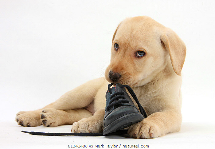 Yellow Labrador Retriever puppy, 8 weeks, chewing a child's shoe., BABIES,CANIDS,CUTE,CUTOUT,DOGS,GUNDOGS,LARGE DOGS,LOOKING AT CAMERA,LYING,PETS,PORTRAITS,PUPPIES,PUPPY,SHOES,STUDIO,VERTEBRATES,WHITE,YOUNG,,cutout,white background,, Mark Taylor