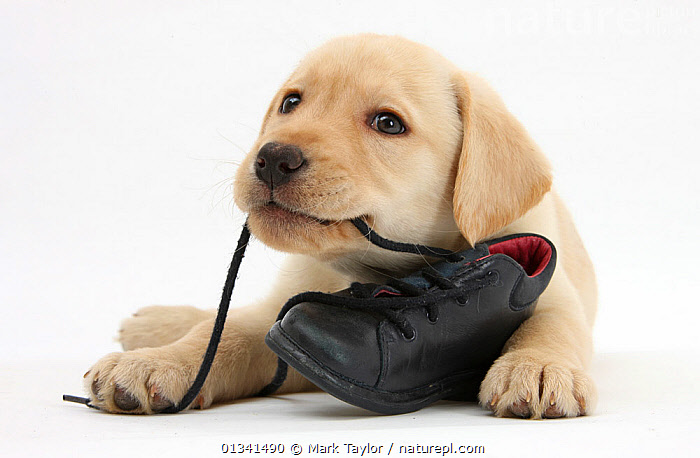 Yellow Labrador Retriever puppy, 8 weeks, chewing a child's shoe., BABIES,CANIDS,CUTE,CUTOUT,DOGS,GUNDOGS,LARGE DOGS,LYING,PETS,PORTRAITS,PUPPIES,PUPPY,STUDIO,VERTEBRATES,WHITE,YOUNG,,cutout,white background,, Mark Taylor