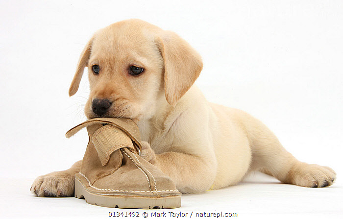 Yellow Labrador Retriever puppy, 8 weeks, chewing a child's shoe., BABIES,CANIDS,CHEWING,CUTE,CUTOUT,DOGS,GUNDOGS,LARGE DOGS,LYING,PETS,PLAYING,PORTRAITS,PUPPIES,PUPPY,SHOES,STUDIO,VERTEBRATES,WHITE,YOUNG,,cutout,white background,, Mark Taylor