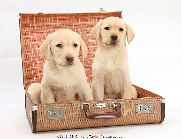 Yellow Labrador Retriever puppies, 8 weeks, in a suitcase., BABIES,CANIDS,CUTE,CUTOUT,DOGS,FRIENDS,GUNDOGS,HOLIDAYS,HUMOROUS,LARGE DOGS,PETS,PORTRAITS,PUPPIES,PUPPY,SIBLINGS,SITTING,STUDIO,TWO,VERTEBRATES,WHITE,YOUNG,Concepts,,cutout,white background,, Mark Taylor
