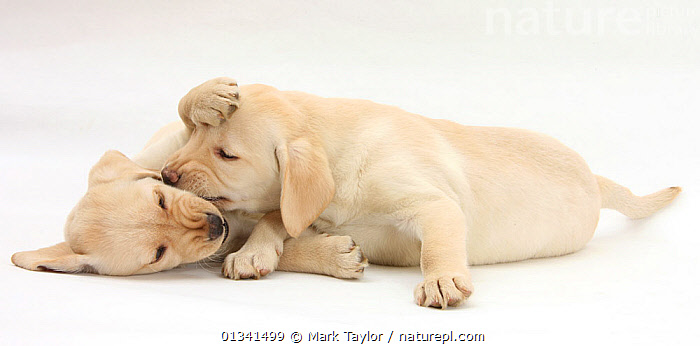 Yellow Labrador Retriever puppies, 9 weeks, play-fighting., BABIES,CANIDS,CUTE,CUTOUT,DOGS,FIGHTING,FRIENDS,GUNDOGS,LARGE DOGS,LYING,PETS,PLAYING,PORTRAITS,PUPPIES,PUPPY,SIBLINGS,STUDIO,TWO,VERTEBRATES,WHITE,YOUNG,Aggression,,cutout,white background,, Mark Taylor