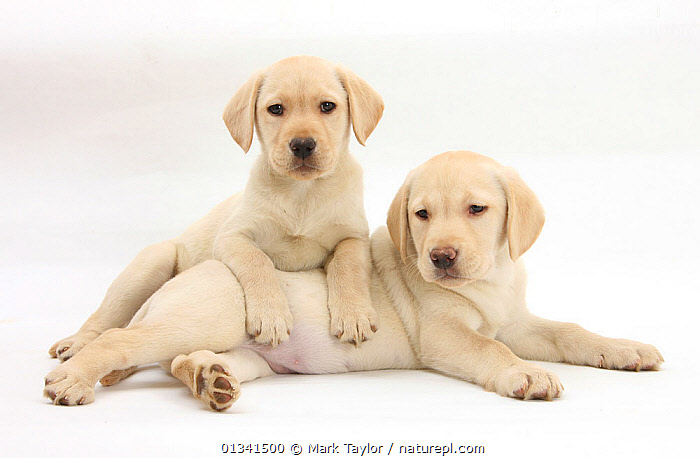 Yellow Labrador Retriever puppies, 9 weeks., AFFECTIONATE,BABIES,CANIDS,CUTE,CUTOUT,DOGS,FRIENDS,GUNDOGS,LARGE DOGS,LYING,PETS,PORTRAITS,PUPPIES,PUPPY,SIBLINGS,STUDIO,TWO,VERTEBRATES,WHITE,YOUNG,,cutout,white background,, Mark Taylor