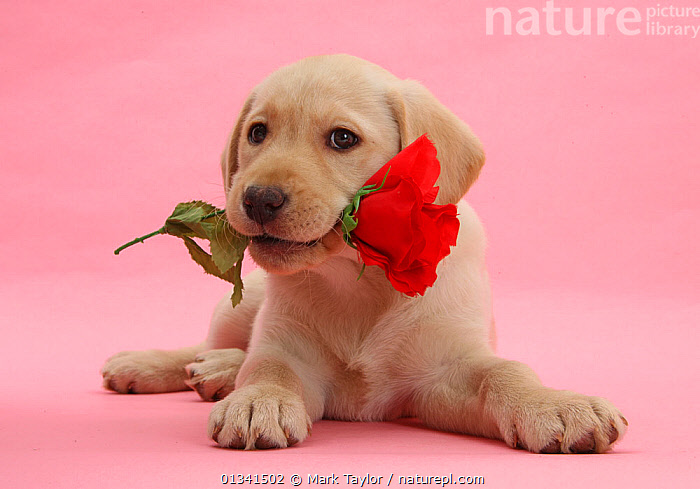 Yellow Labrador Retriever bitch puppy, 10 weeks, with a red rose., BABIES,CANIDS,CUTE,CUTOUT,DOGS,FLOWERS,GUNDOGS,LARGE DOGS,LOVE,LYING,PETS,PINK,PORTRAITS,PUPPIES,PUPPY,STUDIO,VALENTINE,VALENTINES DAY,VALENTINE'S DAY,VERTEBRATES,WHITE,YOUNG, Mark Taylor