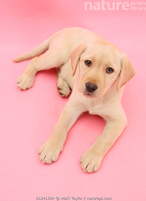 Yellow Labrador Retriever bitch puppy, 10 weeks, lying down and looking up on a pink background., BABIES,CANIDS,CUTE,CUTOUT,DOGS,GUNDOGS,LARGE DOGS,LOOKING AT CAMERA,LYING,PETS,PINK,PORTRAITS,PUPPIES,PUPPY,STUDIO,VERTEBRATES,VERTICAL,WHITE,YOUNG, Mark Taylor
