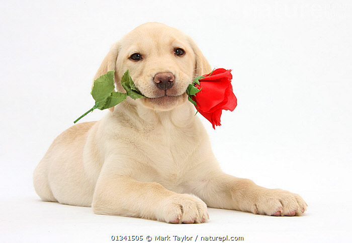 Yellow Labrador Retriever bitch puppy, 10 weeks, holding a red rose., BABIES,CANIDS,CUTE,CUTOUT,DOGS,FLOWERS,GUNDOGS,LARGE DOGS,LOVE,LYING,PETS,PORTRAITS,PUPPIES,PUPPY,STUDIO,VALENTINE,VALENTINES DAY,VALENTINE'S DAY,VERTEBRATES,WHITE,YOUNG,,cutout,white background,, Mark Taylor