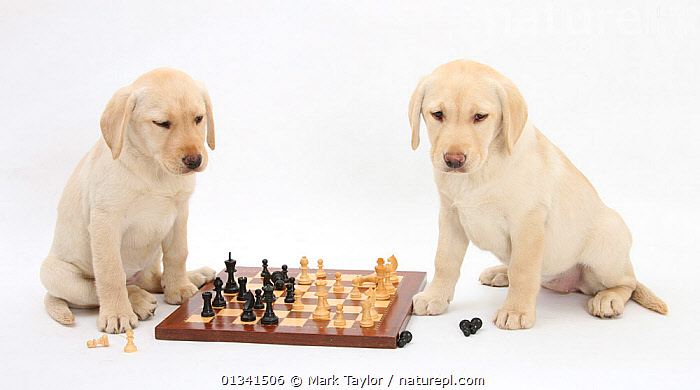 Yellow Labrador Retriever bitch puppies, 10 weeks, playing chess., BABIES,CANIDS,CHESS,CUTE,CUTOUT,DOGS,FRIENDS,GUNDOGS,HUMOROUS,LARGE DOGS,PETS,PLAYING,PORTRAITS,PUPPIES,PUPPY,SIBLINGS,STUDIO,TWO,VERTEBRATES,WHITE,YOUNG,Concepts,,cutout,white background,, Mark Taylor