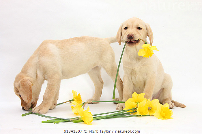 Yellow Labrador Retriever bitch puppies, 10 weeks, lying with yellow daffodils., BABIES,CANIDS,CUTE,CUTOUT,DAFFODILS,DOGS,EATING,FLOWERS,FRIENDS,GUNDOGS,HUMOROUS,LARGE DOGS,PETS,PORTRAITS,PUPPIES,PUPPY,SIBLINGS,SPRING,STUDIO,TWO,VERTEBRATES,WHITE,YOUNG,Concepts,,cutout,white background,, Mark Taylor