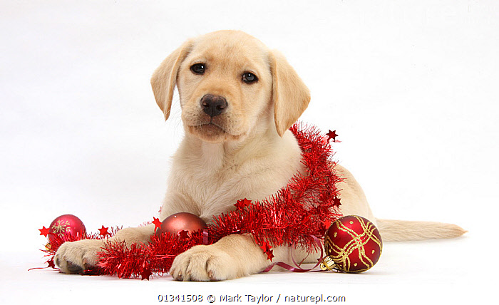 Yellow Labrador Retriever bitch puppy, 10 weeks, with Christmas decorations., BABIES,CANIDS,CELEBRATIONS,CHRISTMAS,CUTE,CUTOUT,DOGS,GUNDOGS,LARGE DOGS,LOOKING AT CAMERA,PETS,PORTRAITS,PUPPIES,PUPPY,STUDIO,VERTEBRATES,WHITE,YOUNG,,cutout,white background,, Mark Taylor