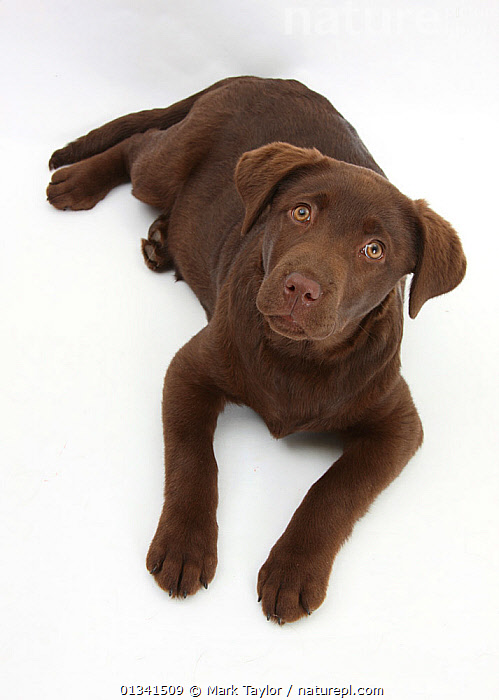 Chocolate Labrador puppy, 3 months, looking up into camera., BABIES,BROWN,CANIDS,CUTE,CUTOUT,DOGS,GUNDOGS,LARGE DOGS,LOOKING AT CAMERA,LYING,PETS,PORTRAITS,PUPPIES,PUPPY,STUDIO,VERTEBRATES,VERTICAL,WHITE,YOUNG,,cutout,white background,, Mark Taylor
