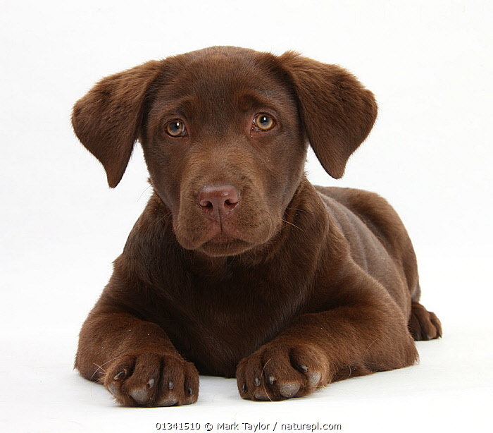 Chocolate Labrador puppy, 3 months, lying., BABIES,BROWN,CANIDS,catalogue4,chocolate labrador,close up,CUTE,CUTOUT,DOGS,EXPRESSIONS,front view,gundogs,labrador,large dogs,looking at camera,lying,Nobody,one animal,PETS,PORTRAITS,puppies,puppy,regret,SAD,sadness,Studio,studio shot,VERTEBRATES,WHITE,YOUNG,Concepts,,cutout,white background,, Mark Taylor