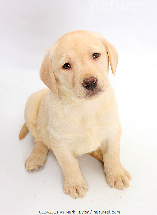 Yellow Labrador Retriever puppy, 7 weeks, sitting and looking up., BABIES,CANIDS,CUTE,CUTOUT,DOGS,GUNDOGS,HIGH ANGLE SHOT,LARGE DOGS,PETS,PORTRAITS,PUPPIES,PUPPY,STUDIO,VERTEBRATES,VERTICAL,WHITE,YOUNG,,cutout,white background,, Mark Taylor
