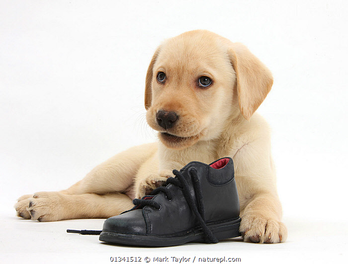 Yellow Labrador Retriever puppy, 8 weeks, with a child's shoe., BABIES,CANIDS,CUTE,CUTOUT,DOGS,GUNDOGS,LARGE DOGS,LYING,PETS,PORTRAITS,PUPPIES,PUPPY,SHOES,STUDIO,VERTEBRATES,WHITE,YOUNG,,cutout,white background,, Mark Taylor