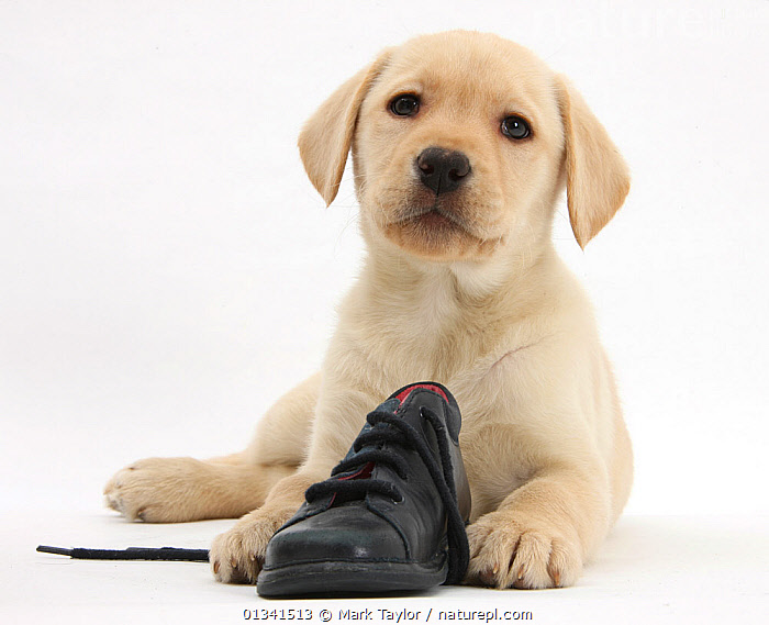 Yellow Labrador Retriever puppy, 8 weeks, with a child's shoe., BABIES,CANIDS,CUTE,CUTOUT,DOGS,GUNDOGS,LARGE DOGS,LOOKING AT CAMERA,LYING,PETS,PORTRAITS,PUPPIES,PUPPY,STUDIO,VERTEBRATES,WHITE,YOUNG,,cutout,white background,, Mark Taylor