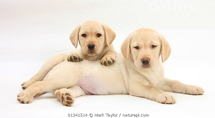 Yellow Labrador Retriever puppies, 8 weeks, lying together., BABIES,CANIDS,CUTE,CUTOUT,DOGS,FRIENDS,GUNDOGS,LARGE DOGS,LOOKING AT CAMERA,LYING,PETS,PORTRAITS,PUPPIES,PUPPY,SIBLINGS,STUDIO,TWO,VERTEBRATES,WHITE,YOUNG,,cutout,white background,, Mark Taylor