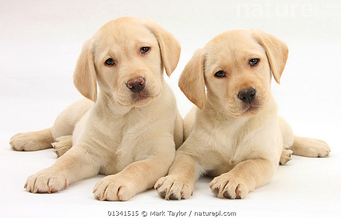 Yellow Labrador Retriever puppies, 9 weeks, looking quizzical., BABIES,CANIDS,CUTE,CUTOUT,DOGS,EXPRESSIONS,FRIENDS,GUNDOGS,LARGE DOGS,LOOKING AT CAMERA,LYING,PETS,PORTRAITS,PUPPIES,PUPPY,SIBLINGS,STUDIO,TWO,VERTEBRATES,WHITE,YOUNG,,cutout,white background,, Mark Taylor