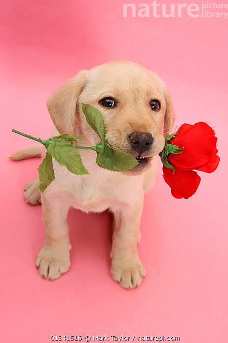 Yellow Labrador Retriever bitch puppy, 10 weeks, holding a red rose and looking up., BABIES,CANIDS,CUTE,CUTOUT,DOGS,EXPRESSIONS,FLOWERS,GUNDOGS,LARGE DOGS,LOOKING AT CAMERA,LOVE,PETS,PINK,PORTRAITS,PUPPIES,PUPPY,SITTING,STUDIO,VALENTINE,VALENTINES DAY,VALENTINE'S DAY,VERTEBRATES,VERTICAL,WHITE,YOUNG, Mark Taylor