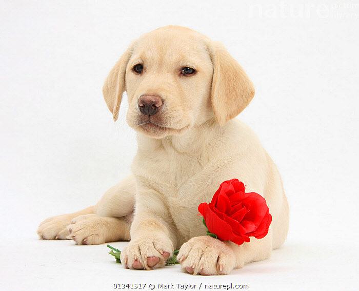 Yellow Labrador Retriever bitch puppy, 10 weeks, lying with a red rose., BABIES,CANIDS,CUTE,CUTOUT,DOGS,FLOWERS,GUNDOGS,LARGE DOGS,LOVE,LYING,PETS,PINK,PORTRAITS,PUPPIES,PUPPY,STUDIO,VALENTINE,VALENTINES DAY,VALENTINE'S DAY,VERTEBRATES,WHITE,YOUNG,,cutout,white background,, Mark Taylor