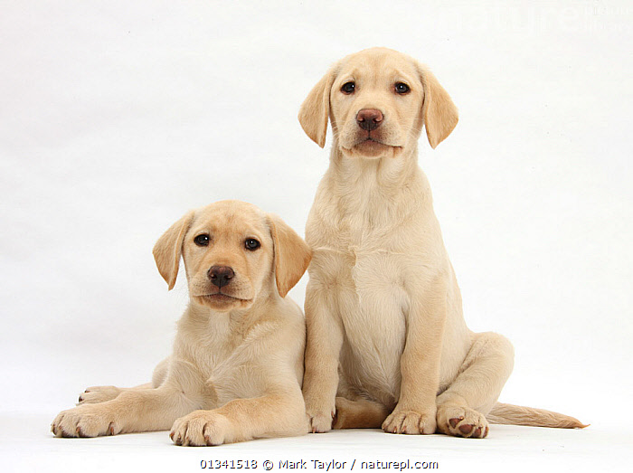 Yellow Labrador Retriever puppies, 10 weeks, sitting and lying. *Resticted use - exclusive for greetings cards and calendars in Europe until 2015*, BABIES,CANIDS,CUTE,CUTOUT,DOGS,FRIENDS,GUNDOGS,LARGE DOGS,LOOKING AT CAMERA,LYING,PETS,PORTRAITS,PUPPIES,PUPPY,SIBLINGS,SITTING,STUDIO,TWO,VERTEBRATES,WHITE,YOUNG,,cutout,white background,, Mark Taylor