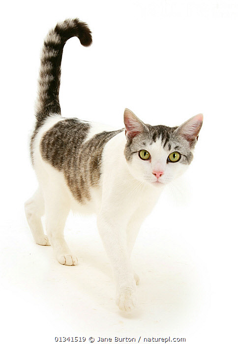 Portrait of a silver tabby-and-white cat walking., animal marking,catalogue4,CATS,close up,curiosity,CUTE,CUTOUT,looking at camera,Nobody,one animal,PETS,PORTRAITS,STANDING,staring,Studio,studio shot,tabby cat,tail,VERTEBRATES,VERTICAL,WALKING,WHITE,white background, Jane Burton
