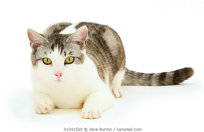 Portrait of a silver tabby-and-white cat., CATS,CUTE,CUTOUT,LOOKING AT CAMERA,LYING,PETS,PORTRAITS,STUDIO,VERTEBRATES,WHITE, Jane Burton