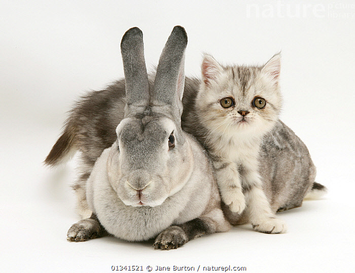 Silver exotic kitten, 9 weeks, climbing over silver rex doe rabbit. NOT AVAILABLE FOR BOOK USE, BABIES,CATS,COLOUR COORDINATED,CUTE,CUTOUT,DOMESTIC CAT,DOMESTIC RABBIT,FELIS CATUS,FLUFFY,FRIENDS,GREY,KITTENS,LAGOMORPHS,MIXED SPECIES,ORYCTOLAGUS CUNICULUS,PETS,PORTRAITS,RABBITS,STUDIO,TWO,VERTEBRATES,WHITE,Mammals, Jane Burton