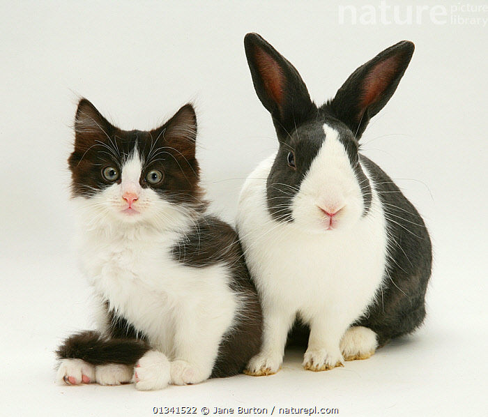 Black-and-white kitten with black Dutch rabbit. NOT AVAILABLE FOR BOOK USE, BABIES,BLACK,CATS,COLOUR COORDINATED,CUTE,CUTOUT,DOMESTIC CAT,DOMESTIC RABBIT,FELIS CATUS,FLUFFY,FRIENDS,KITTENS,LAGOMORPHS,MIXED SPECIES,ORYCTOLAGUS CUNICULUS,PETS,PORTRAITS,RABBITS,STUDIO,TWO,VERTEBRATES,WHITE,Mammals, Jane Burton