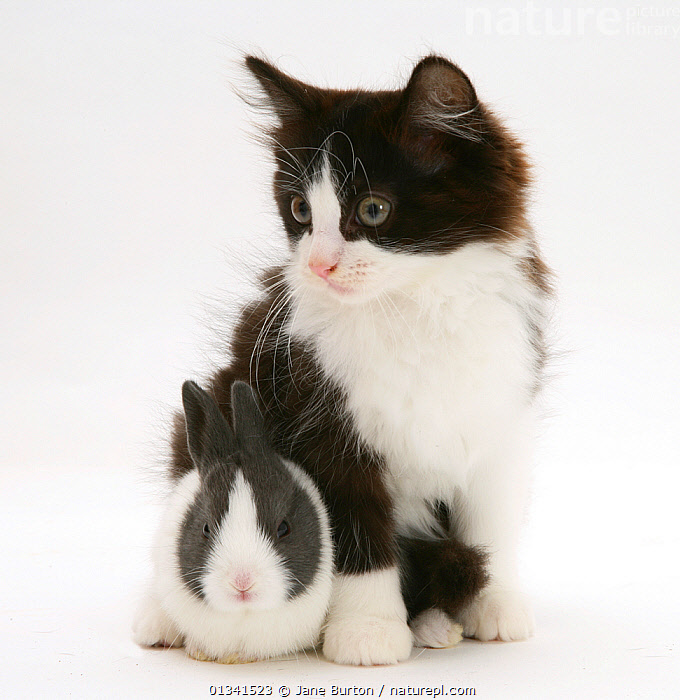 Black-and-white kitten with baby blue Dutch rabbit, 3 weeks. NOT AVAILABLE FOR BOOK USE, BABIES,CATS,COLOUR COORDINATED,CUTE,CUTOUT,DOMESTIC CAT,DOMESTIC RABBIT,FELIS CATUS,FLUFFY,FRIENDS,LAGOMORPHS,MIXED SPECIES,ORYCTOLAGUS CUNICULUS,PETS,PORTRAITS,RABBITS,STUDIO,TWO,VERTEBRATES,VERTICAL,WHITE,Mammals, Jane Burton