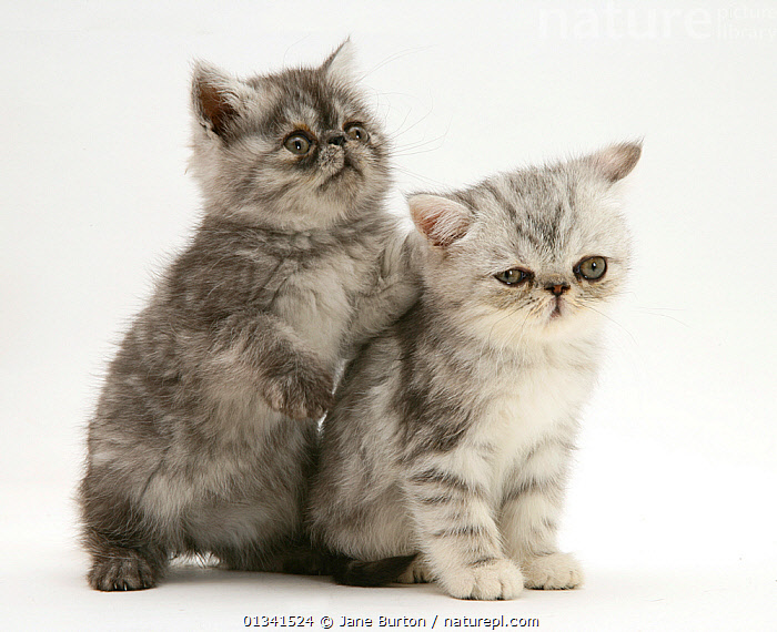 Smoke and silver exotic shorthair kittens., BABIES,CATS,COLOUR COORDINATED,CUTE,CUTOUT,FLUFFY,FRIENDS,PETS,PORTRAITS,SIBLINGS,STUDIO,TWO,VERTEBRATES,WHITE, Jane Burton