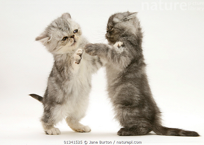 Smoke and silver exotic shorthair Kittens, play-fighting., BABIES,BEHAVIOUR,CATS,CUTE,CUTOUT,FIGHTING,FLUFFY,FRIENDS,PETS,PLAYING,PORTRAITS,SIBLINGS,STUDIO,TWO,VERTEBRATES,WHITE,Aggression, Jane Burton