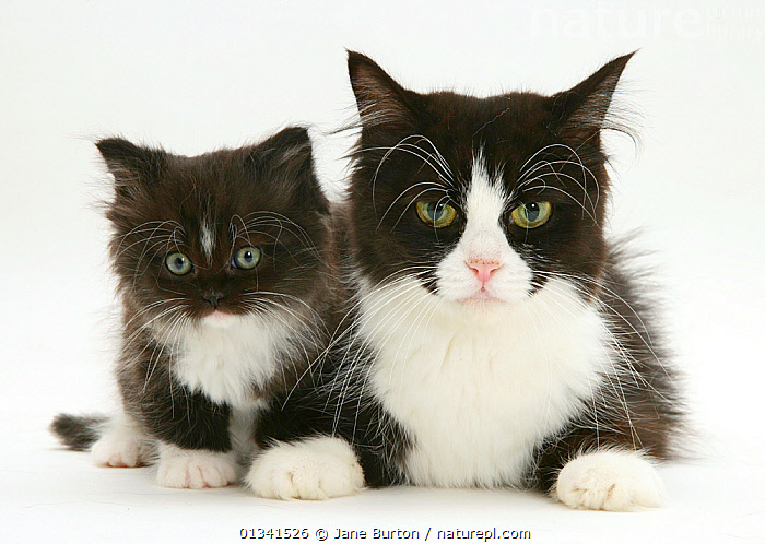 Black-and-white Persian-cross cat, with her kitten., BABIES,BLACK,CATS,COLOUR COORDINATED,CUTE,CUTOUT,FLUFFY,FRIENDS,LYING,PARENTAL,PETS,PORTRAITS,STUDIO,TWO,VERTEBRATES,WHITE, Jane Burton
