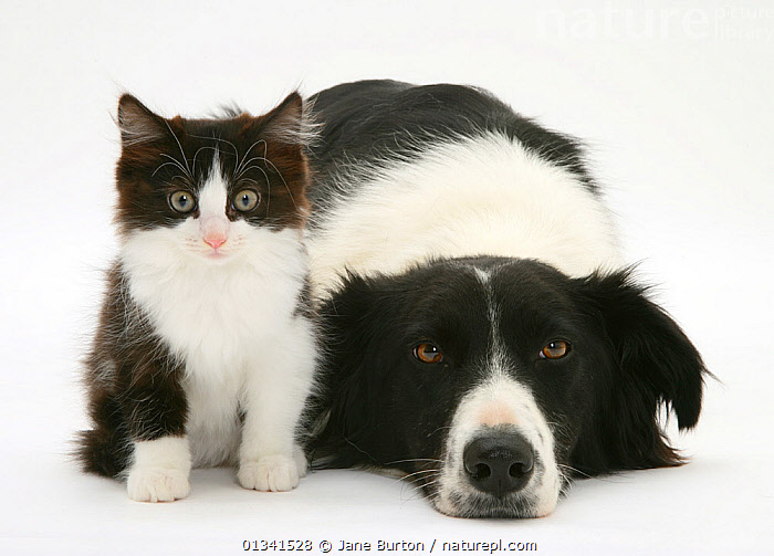 Black-and-white Border Collie bitch lying chin on floor with black-and-white kitten. NOT AVAILABLE FOR BOOK USE  ,  animal portrait,BABIES,BLACK,black colour,Border Collie,canis familiaris,cat,catalogue4,CATS,close up,colour coordinated,CUTE,CUTOUT,Dog,DOGS,domestic cat,domestic dog,felis catus,female animal,FLUFFY,FRIENDS,FRIENDSHIP,kitten,looking at camera,lying,lying on floor,medium dogs,mixed species,MIXED SPECIES,Nobody,pastoral dogs,patience,PETS,PORTRAITS,side by side,Studio,studio shot,two,two animals,VERTEBRATES,WHITE,white background,white colour,WILDLIFE,young animal,Concepts  ,  Jane Burton