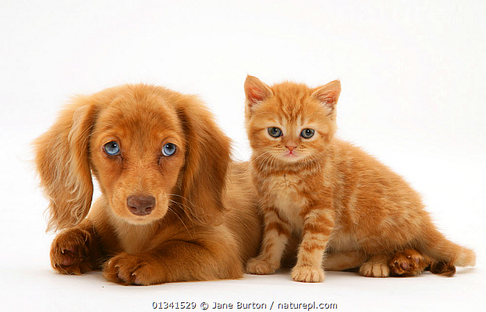 Cream Dapple Miniature Long-haired Dachshund puppy with British shorthair red tabby Kitten. NOT AVAILABLE FOR BOOK USE, BABIES,blue eyes,British,catalogue4,CATS,close up,colour coordinated,CUTE,CUTOUT,dachshund,domestic cat,EARS,felis catus,FLUFFY,FRIENDS,ginger,hounds,kitten,long haired,looking at camera,lying,medium dogs,MIXED SPECIES,Nobody,ORANGE,PETS,PORTRAITS,puppies,puppy,red tabby,Shorthair,side by side,Studio,studio shot,tabby cat,two,two animals,VERTEBRATES,WHITE,white background,young animal, Jane Burton