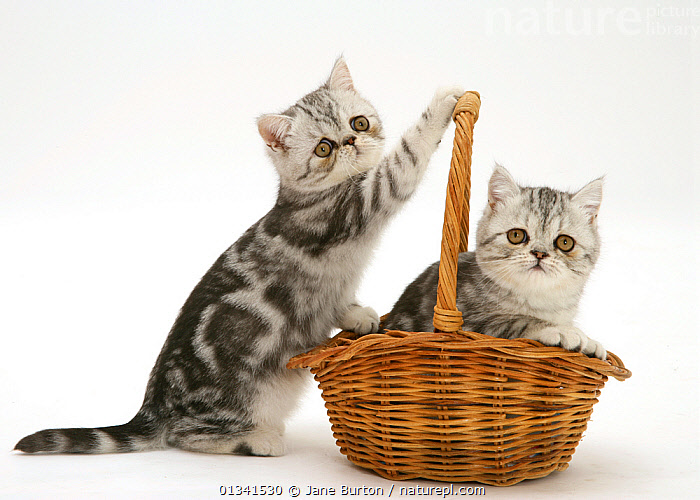 Two silver tabby Exotic kittens playing with a wicker basket., BABIES,BASKETS,CATS,COLOUR COORDINATED,CUTE,CUTOUT,FLUFFY,FRIENDS,PETS,PLAYING,PORTRAITS,SIBLINGS,STUDIO,TWO,VERTEBRATES,WHITE, Jane Burton