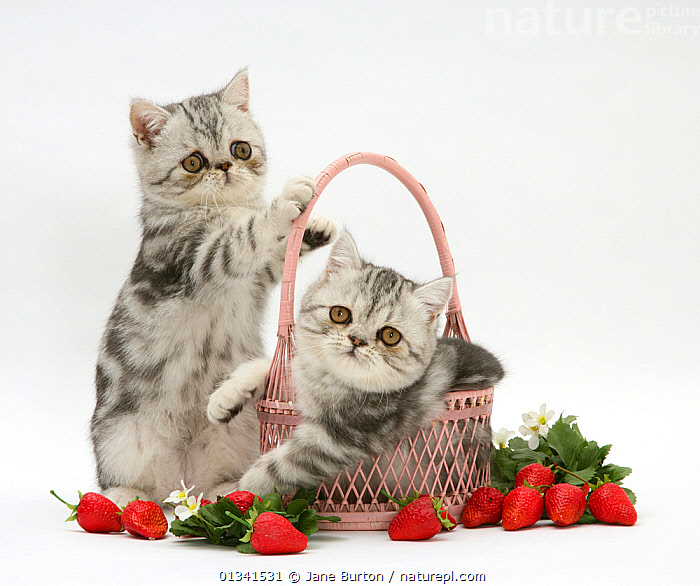 Blue-silver exotic shorthair kittens with pink wicker basket and strawberries., BABIES,BASKETS,CATS,COLOUR COORDINATED,CUTE,CUTOUT,FLUFFY,FRIENDS,FRUIT,PETS,PLAYING,SIBLINGS,STUDIO,SUMMER,TWO,VERTEBRATES,WHITE,Plants, Jane Burton