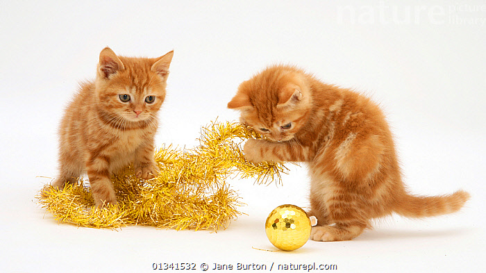 Red tabby kittens playing with Christmas tinsel and bauble., BABIES,CATS,CHRISTMAS,COLOUR COORDINATED,CUTE,CUTOUT,FLUFFY,FRIENDS,PETS,PLAYING,PORTRAITS,SIBLINGS,STUDIO,TWO,VERTEBRATES,WHITE,YELLOW, Jane Burton