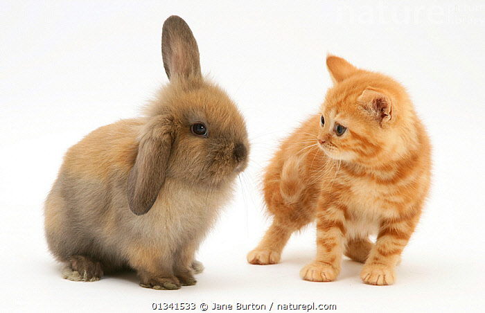 Ginger kitten and brown lop rabbit kit. NOT AVAILABLE FOR BOOK USE, BABIES,CATS,CUTE,CUTOUT,DOMESTIC CAT,DOMESTIC RABBIT,EARS,FELIS CATUS,FLUFFY,FRIENDS,HUMOROUS,LAGOMORPHS,MIXED SPECIES,ORYCTOLAGUS CUNICULUS,PETS,PORTRAITS,RABBITS,STUDIO,TWO,VERTEBRATES,WHITE,Concepts,Mammals, Jane Burton