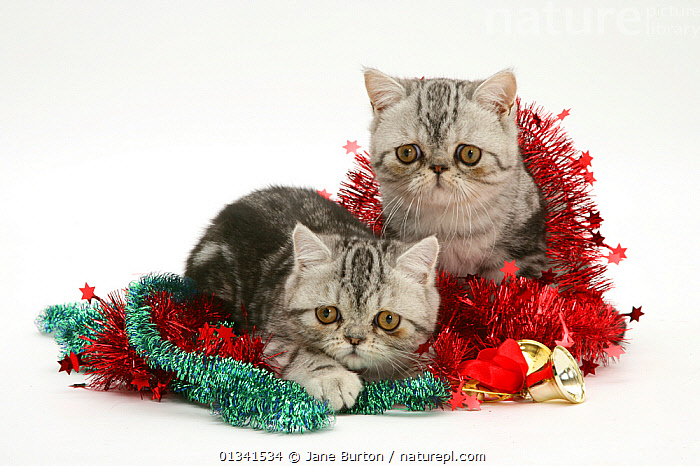 Two silver tabby exotic kittens with Christmas tinsel., BABIES,CATS,CHRISTMAS,CUTE,CUTOUT,FLUFFY,FRIENDS,HUMOROUS,LOOKING AT CAMERA,LYING,PETS,SIBLINGS,STUDIO,TWO,VERTEBRATES,WHITE,Concepts, Jane Burton