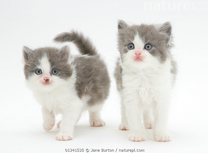 Two grey-and-white kittens., BABIES,CATS,COLOUR COORDINATED,CUTE,CUTOUT,FLUFFY,FRIENDS,GREY,PETS,PORTRAITS,SIBLINGS,STUDIO,TWO,VERTEBRATES,WHITE, Jane Burton