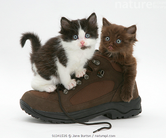 Black-and-white kitten with chocolate kitten in a shoe., BABIES,BOOTS,CATS,CUTE,CUTOUT,FLUFFY,FRIENDS,PETS,PLAYING,SHOES,SIBLINGS,STUDIO,TWO,VERTEBRATES,WHITE, Jane Burton