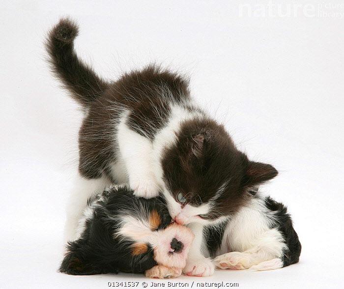 Black-and-white kitten and sleeping Cavalier King Charles Spaniel puppy. NOT AVAILABLE FOR BOOK USE, AFFECTIONATE,BABIES,CANIS FAMILIARIS,CATS,COLOUR COORDINATED,CUTE,CUTOUT,DOGS,DOMESTIC CAT,DOMESTIC DOG,FELIS CATUS,FLUFFY,FRIENDS,HUMOROUS,MIXED SPECIES,PETS,PORTRAITS,PUPPIES,SLEEPING,SMALL DOGS,STUDIO,TOY DOGS,TWO,VERTEBRATES,WHITE,Concepts,,Cutout,White background,, Jane Burton